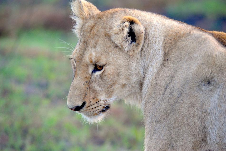 Löwe am Abend. Tour entlang der Garden Route durch Süd-Afrika.