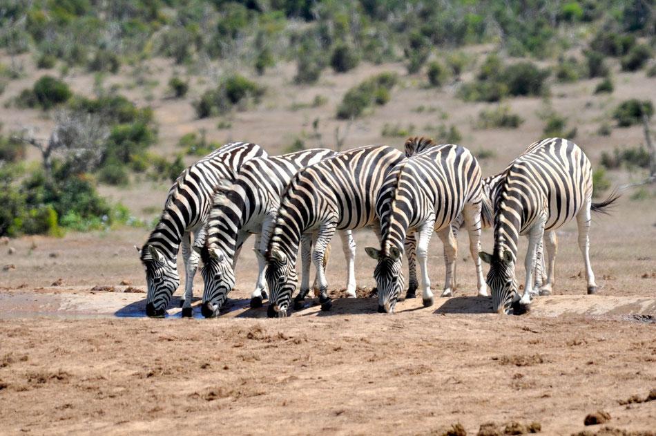 Zebras trinken an der Wasserstelle, Addo Elephant National Park bei Port Elizabeth in Südafrika