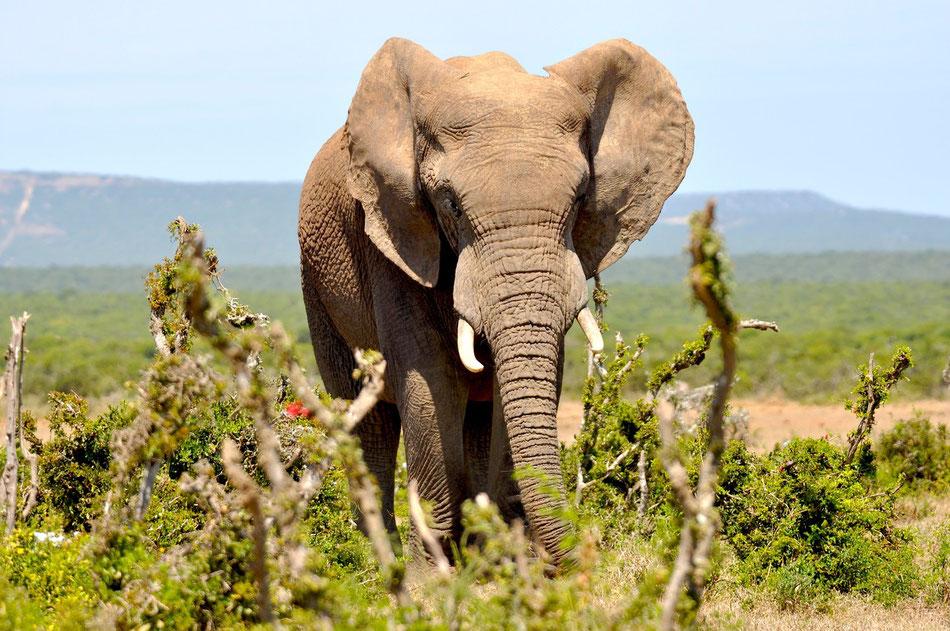 Elephant im Addo Elephant Park in Süd Afrika nahe der Garden Route