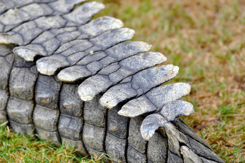 Krokodil. Die Schuppenschilde am Schwanz sehen fast wie Tragflächen aus. Nur mit dem Fliegen klappt es bei den Krokodilen noch nicht...