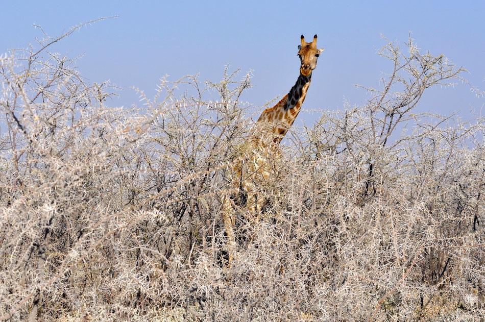 Giraffe im Etosha National Park auf der Strecke zwischen Okaukuejo und Halali
