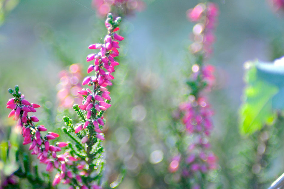 Die Lünebuger Heide mit der typischen Heide in ihrer schönen zarten Blühte.