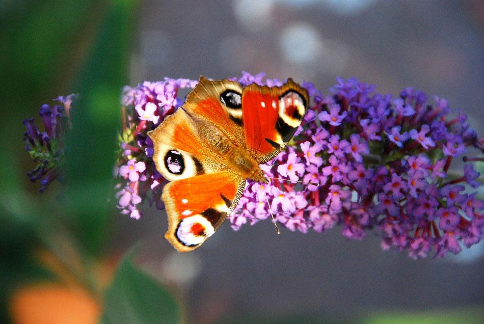 Schmetterling Pfauenauge auf Flieder. r wird Vollksnah auch als Schmetterlingsflieder bezeichnet