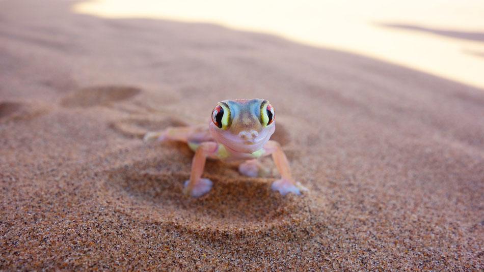 Auf der Living Desert Tour bei Swakopmund - Palomato Gecko