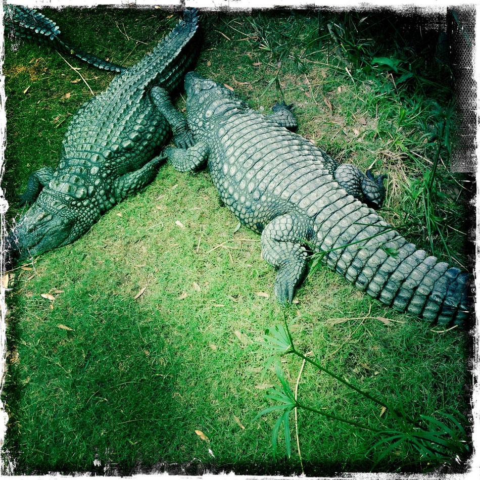 Krokodile dösen in der Sonne Afrikas