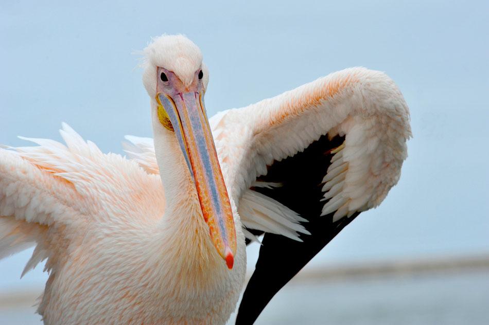Pelikan in Swakopmund