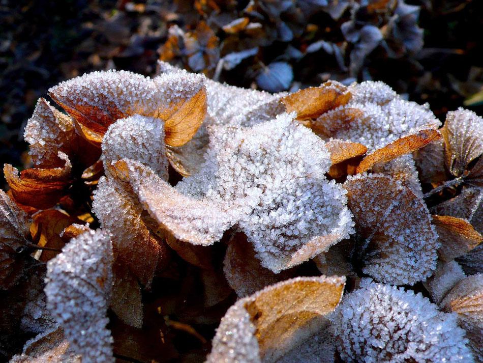 Schneekristalle auf Laub Eis Winter in Hamburg Wittenbergen