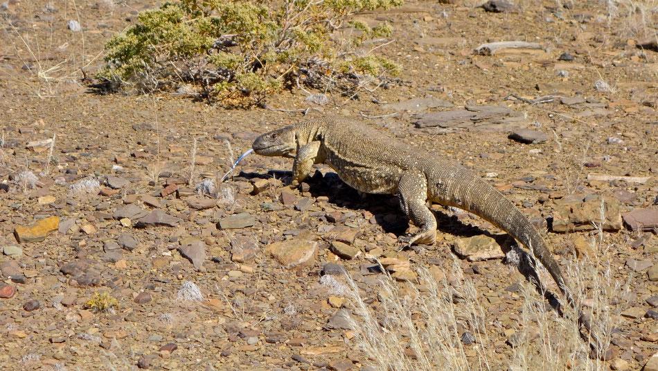 Ausgewachsener Weißkehl-Steppenwaran in Namibia