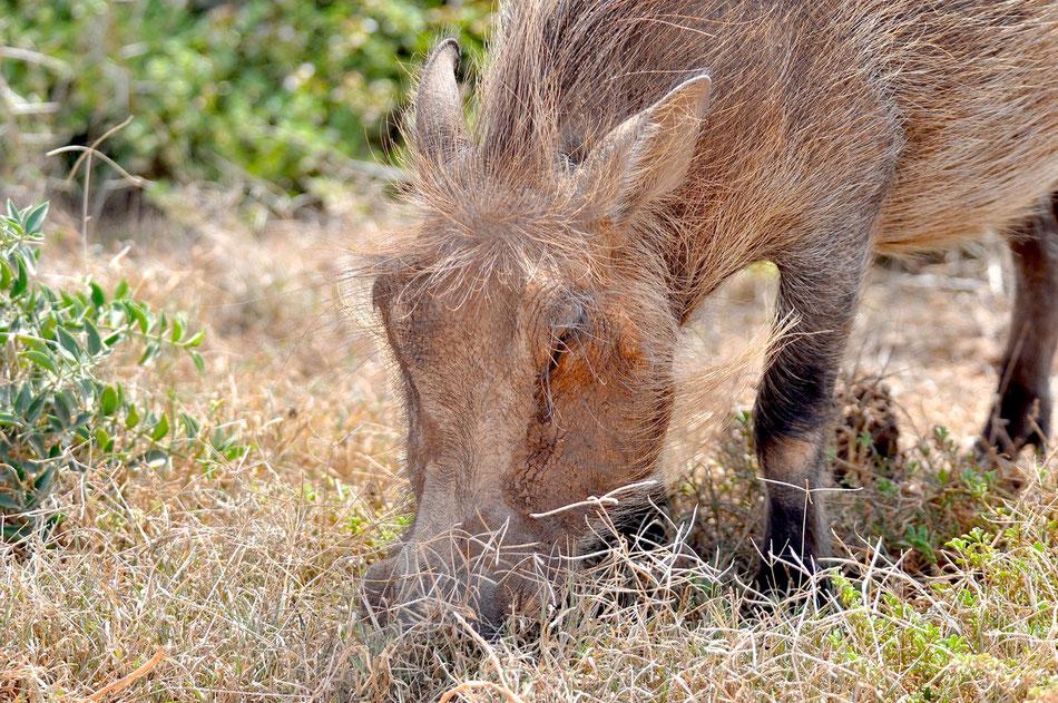 Warzenschwein im Addo Elephant Park