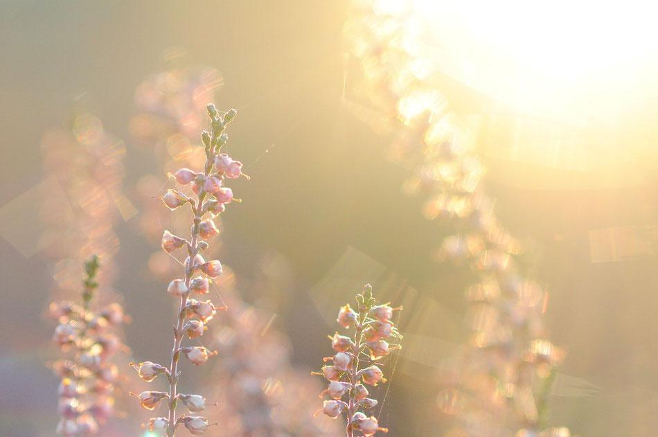 Verblühte Heide im Sonnenuntergang im Naturschutzgebiet rund um den Wilseder Berg in der Lüneburger Heide.