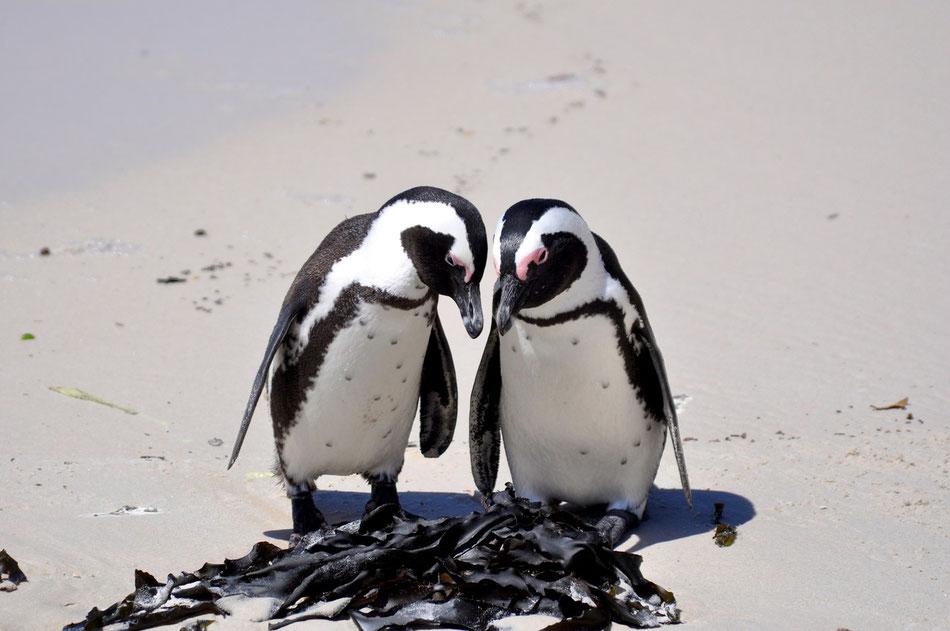 Die sogenannten Jackass Pinguine (Brillenpinguine) haben sich an dem kleinen und hübschen Strand in den 80er Jahren niedergelassen. Inzwischen kontrolliert die Naturschutzbehörde die Pinguin Kolonie.