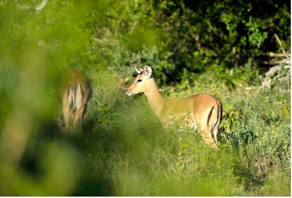 Eins von Millionen Impalas. Gerne auch aus Grundnahrungsmittel der Tierwelt bezeichnet. Dabei wunderhübsch und für uns immer wieder gern gesehen.