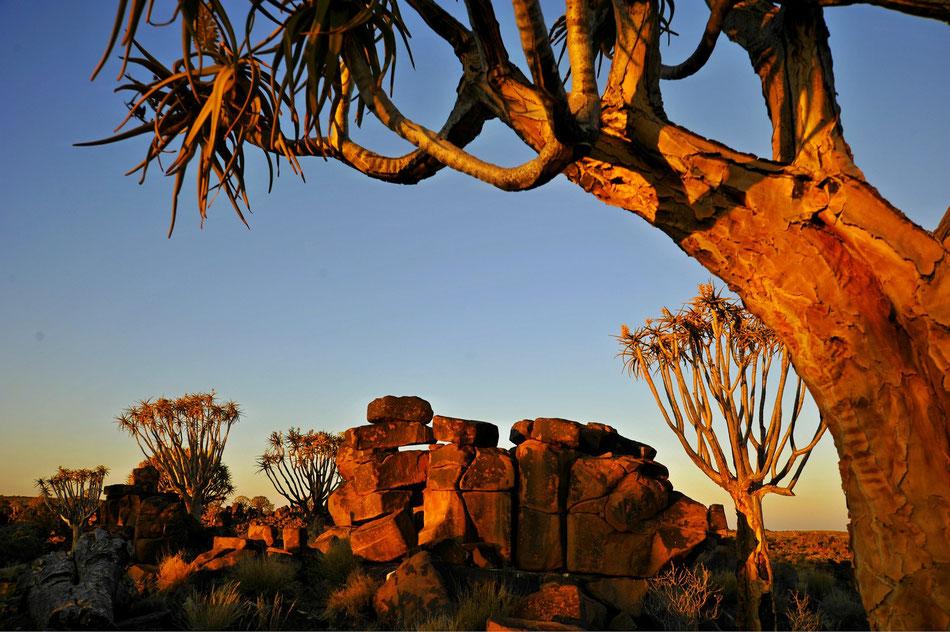Mesosaurus Fossil Camp mit tollen Köcherbäumen und vielen Fossilien, Köcherbaumwald, Köcherbaum in Namibia. Wurde 1955 zumnationalen Denkmalerklärt und ist ein Gebiet nordöstlich vonKeetmanshoopim SüdenNamibias.