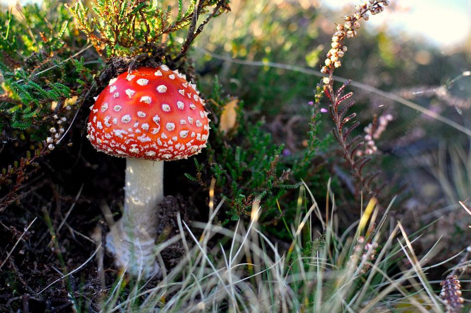 Wer als Pilz ans Licht will schiebt auch mal die Heide zur Seite. Lüneburger Heide, Wandern, Norddeutschland