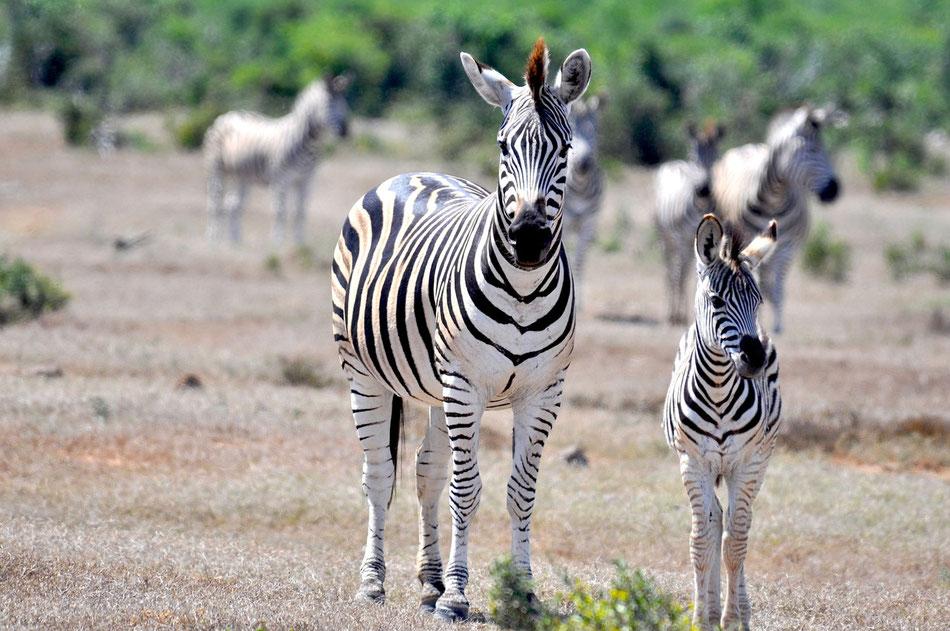 Kleine Herde Zebras im Addo Elephant Park