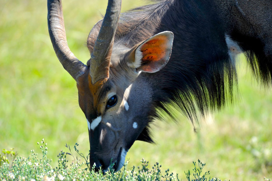 Der große Kudu, eine weit verbreitete afrikanische Antilopenart.