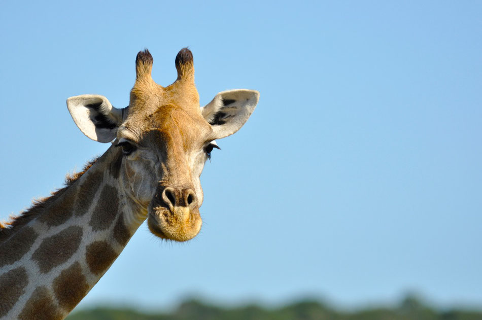 Giraffe, Addo Elephant National Park bei Port Elizabeth in Südafrika, Safari Afrika