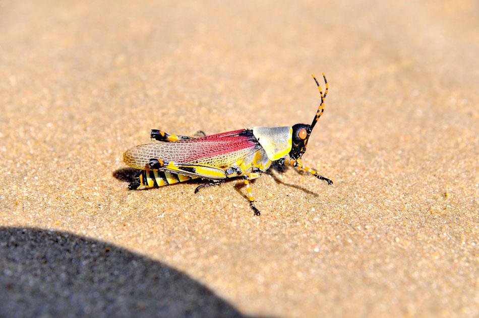 Heuschrecke am Strand, Plettenberg Bay, Süd Afrika ,Garden Route
