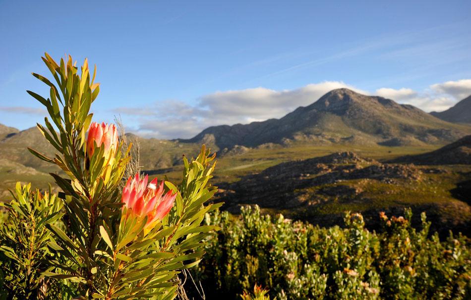 Über den Swartberg Pass bis Prince Albert. In der Karoo Lodge kann man gut übernachten und kleine Restaurant hat fünf Sterne verdient. Man darf sogar mit in die Küche.