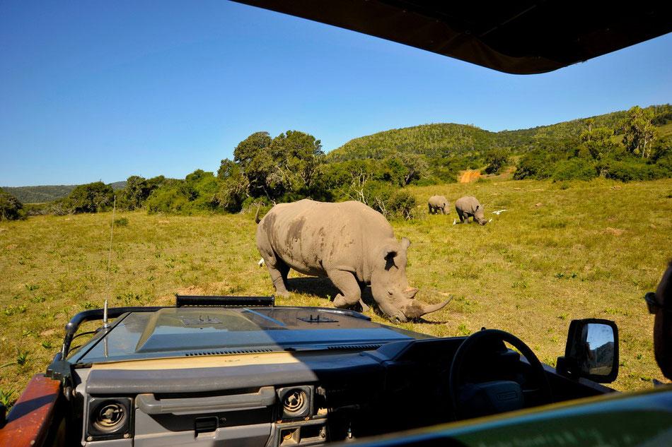 Drei Nashörner zu Besuch am Landrover. Wie so oft werden die Rhinozerosse von Vögeln begleitet die auf aufgeschreckte Käfer und Heuschrecken im Gras hoffen.