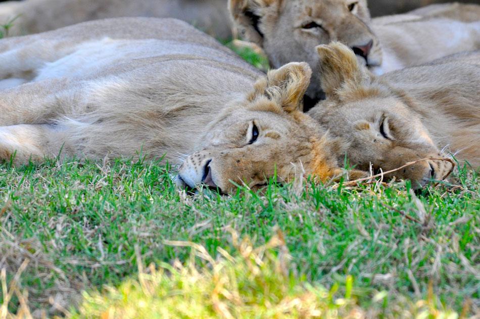 Ein Rudel Löwen döst im Schatten, Garden Route, Süd Afrika, Safari