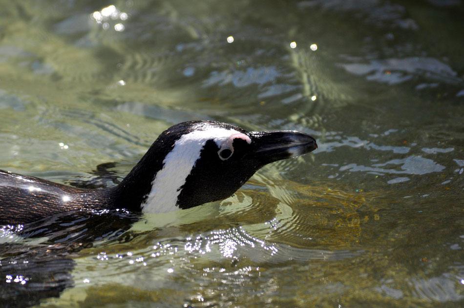 Pinguin im klaren Wasser beim Strand von Boulders Beach nahe Simons Town. Die Pinguin Kolonie am Boulders Beach in der Nähe von Simons Town ist mittlerweile (leider) ein beliebtes Ziel für Touristen und die Idylle aus den 80gern ist vorbei.