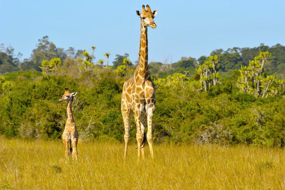 Giraffen auf der afrikanischen Steppe. Garden Route, Süd-Afrika, Western Cape, Giraffe, Safari