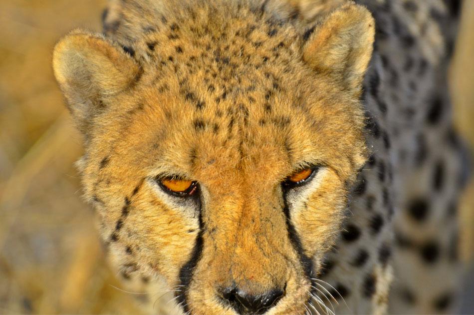 Etosha National Park, Namibia, Gepard, Leopard