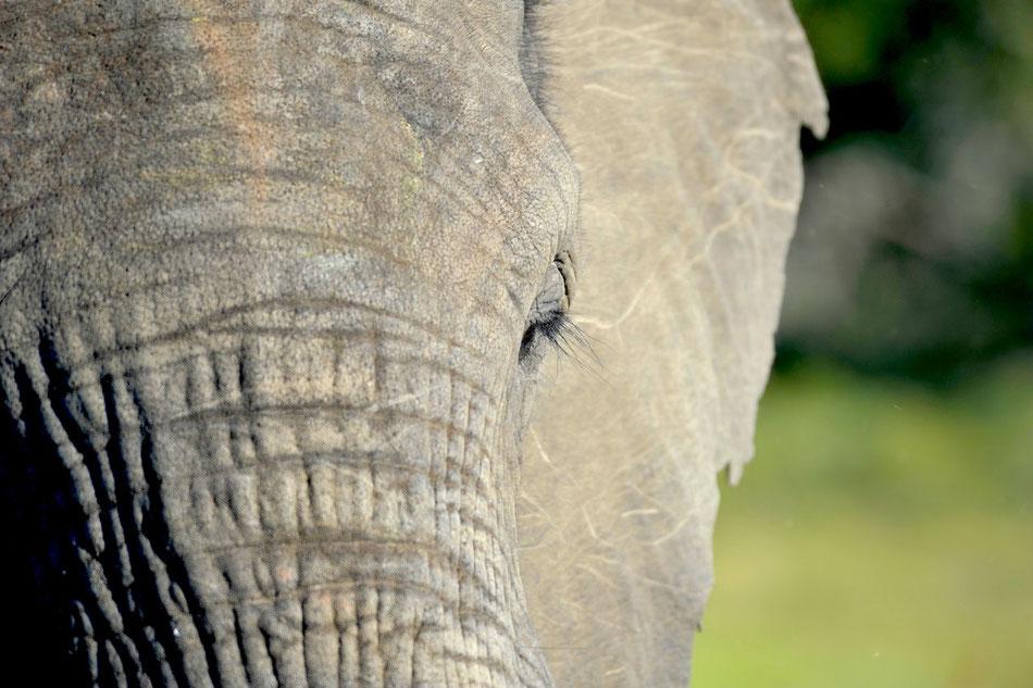Elefant, Afrika, Garden Route, Safari, Süd-Afrika, Addo Elephant National Park bei Port Elizabeth in Südafrika