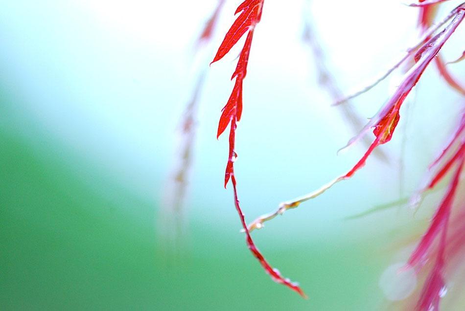 Japanischer Ahorn im Regen