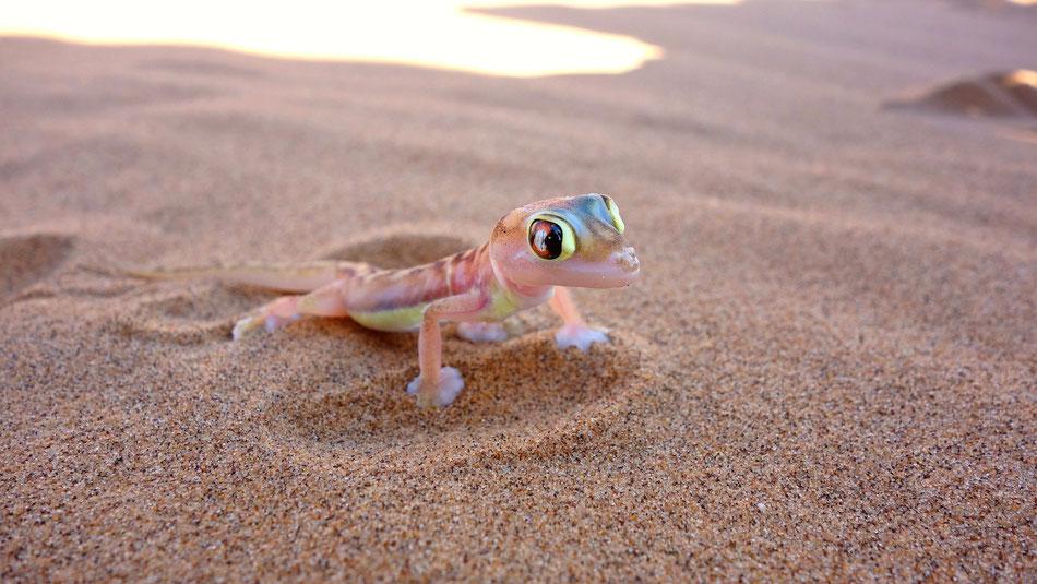 Living Desert Tours Namibia Swakopmund Palomatogecko. Namibgecko oder Schwimmfußgecko kommt ausschließlich in der Wüste Namib von der Küste des südlichen Atlantik bis circa 130 km landeinwärts vor.