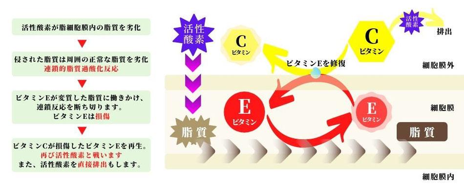 抗酸化ビタミンの働き
