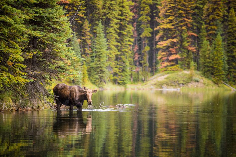 Canada Memos - The Moose :: Copyright Martin Schmidt, Fotograf für Schwarz-Weiß Fine-Art Architektur- und Landschaftsfotografie aus Trier