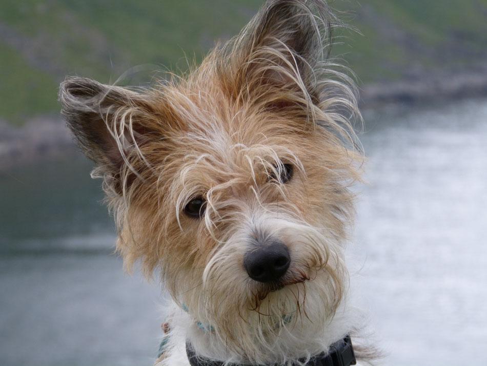 Hundekopf schaut in Kamera Kromfohrländer Hund hält Kopf leicht schräg