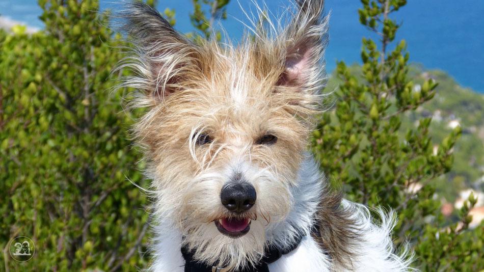 Clara Hund Kromfohrländer