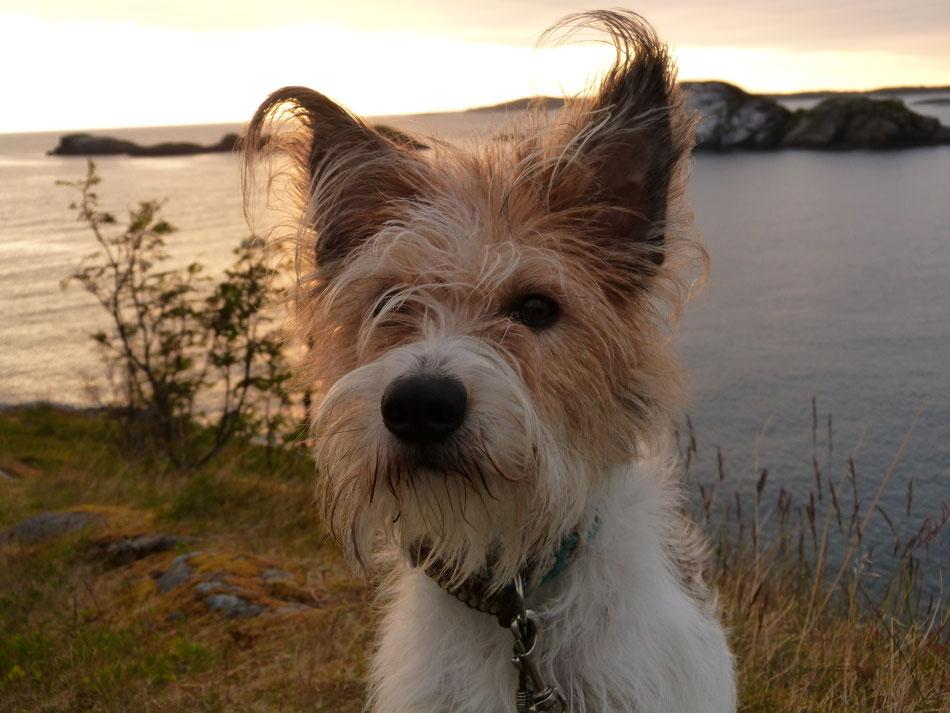 Hund mit lustigen spitzen Ohren sitzt in Abenddämmerung am Meer Kromfohrländer