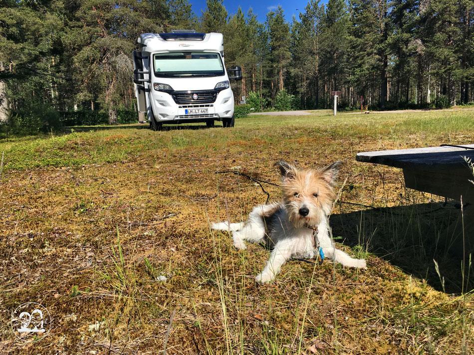 mit dem Wohnmobil nach Norwegen, Zwischenübernachtungsplatz in Schweden, Hund Kromfohrländer Clara auf dem Rasen vor dem Wohnmobil in der Morgensonne