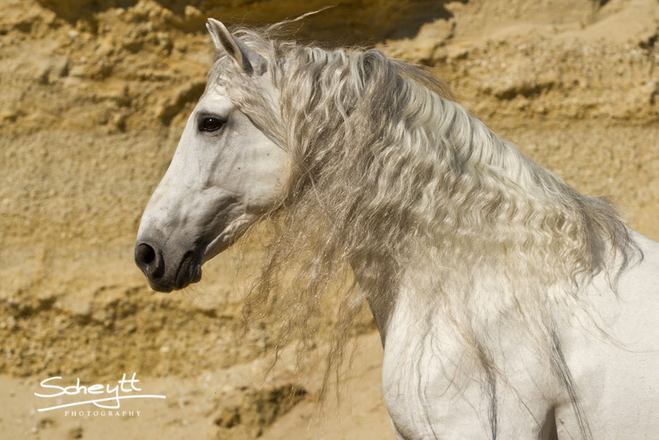Andalusier Naviero - Ausdrucksstarkes Traumpferd