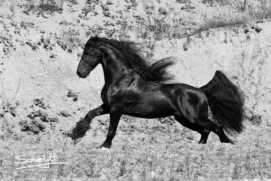 Pferdefotografie - Friesenhengst Thiadmar