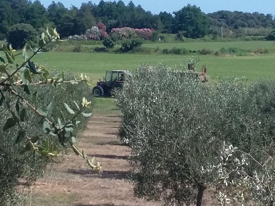 nos oliviers , pour accéder al la plage vous traversez le champ d'oliviers