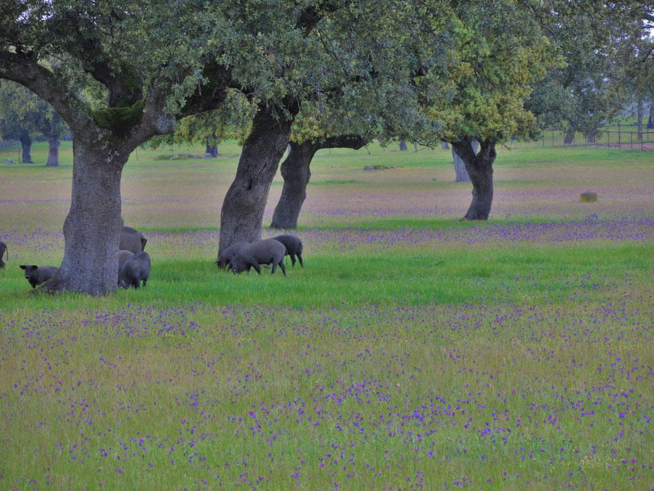 Die Iberico Schweine leben in sehr gepflegten Landschaften.