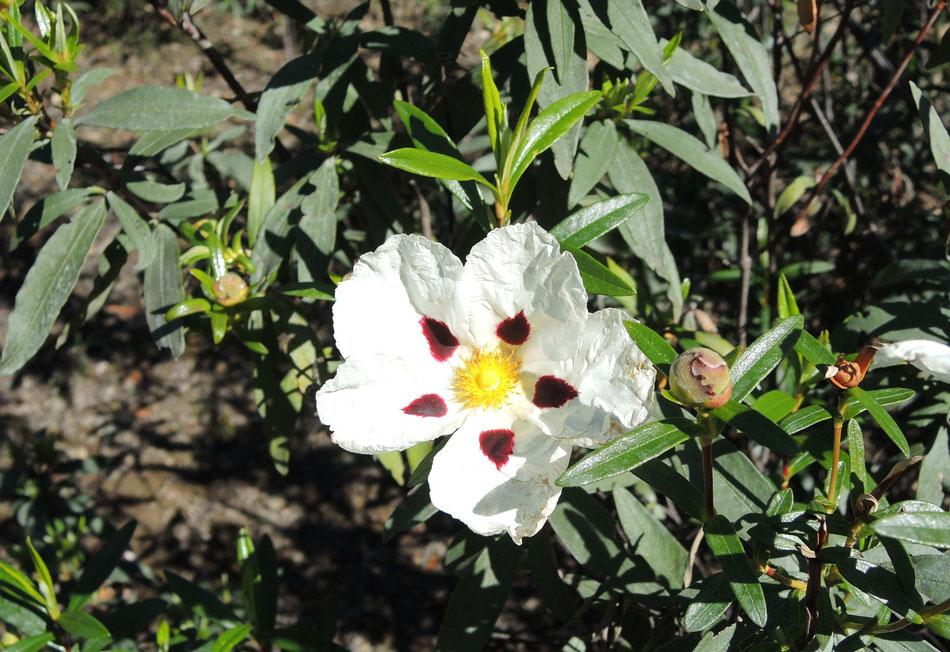 Zistrose ist sehr verbreitet in Andalusien und Extremadura.