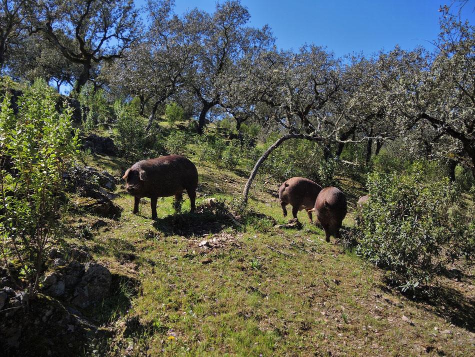 Die glückliche schwarze Schweine Rasse Cerdo Iberico sind typisch für Andalusien und Extremadura. Der Schinken von Iberico Schwein ist eine Delikatesse, 1 kg davon kostet über 200 Euro.