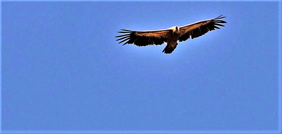 Iberischer Adler über Pico de Dueno.