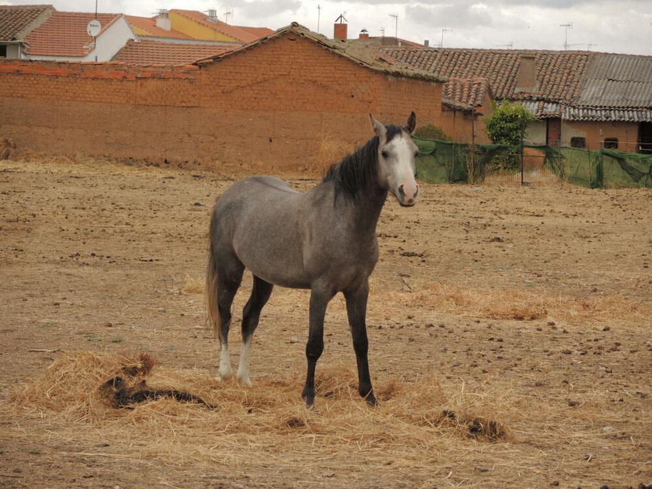 Von Salamanca gehts nach Cubo del Vino. Der Herberge Besitzer züchtet  ausserdem schöne Araberpferde.