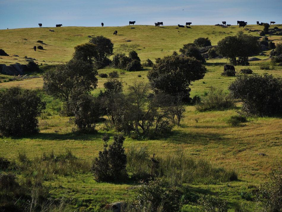 Brava Torros werden in Andalusien und Extremadura für Corridas gezüchtet.