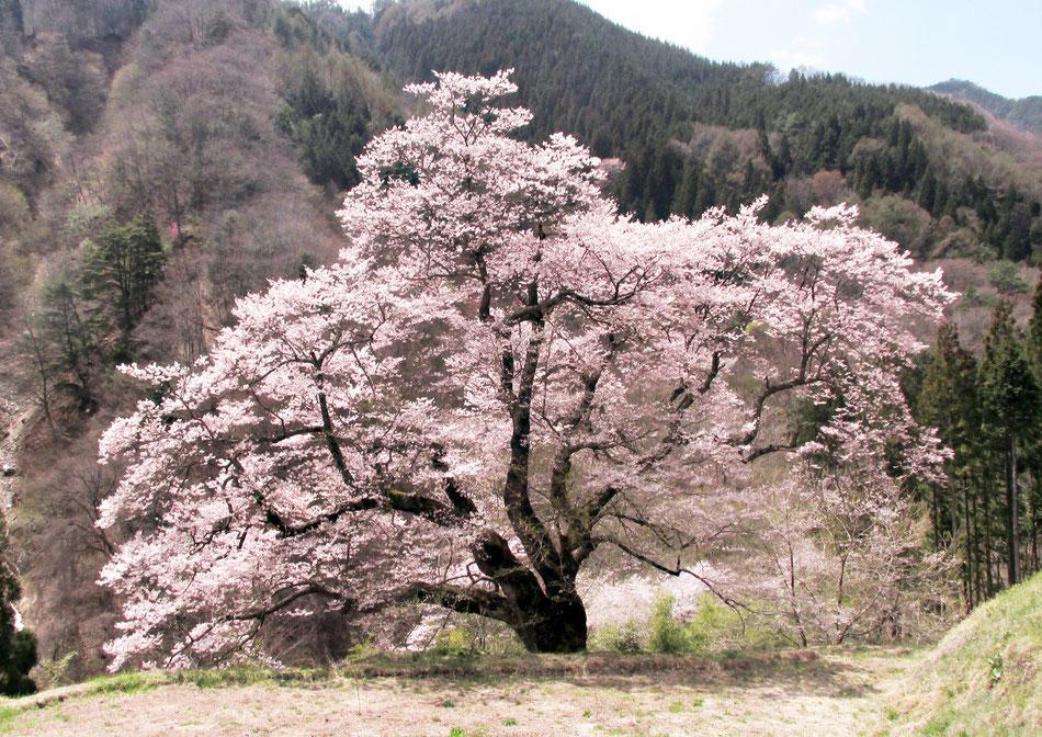駒つなぎの桜 2015年撮影