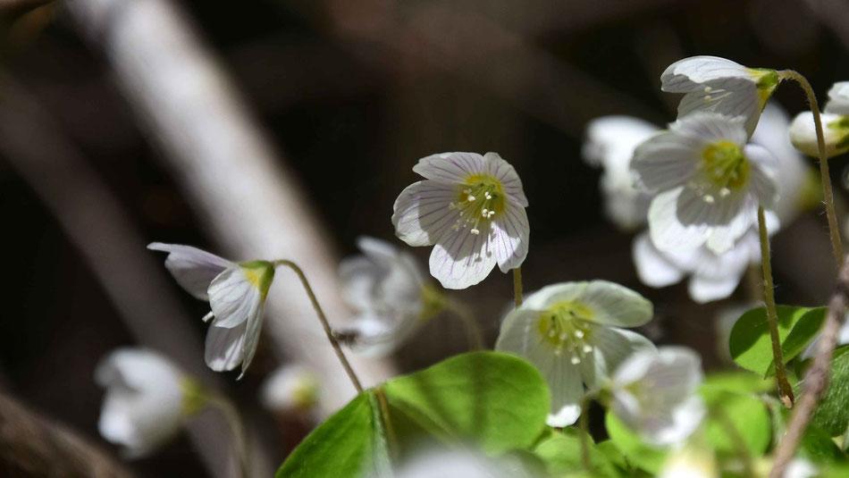 Waldklee, Frühlingsblume, flowfly.photo, Beatrice Sackmann