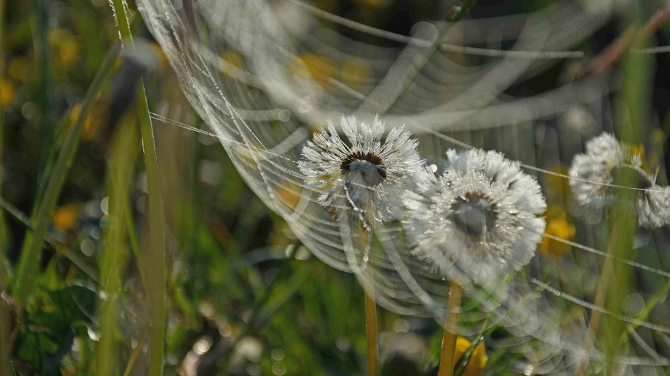 Netz, Vernetzung, Pusteblume, flowfly.photo, Beatrice Sackmann