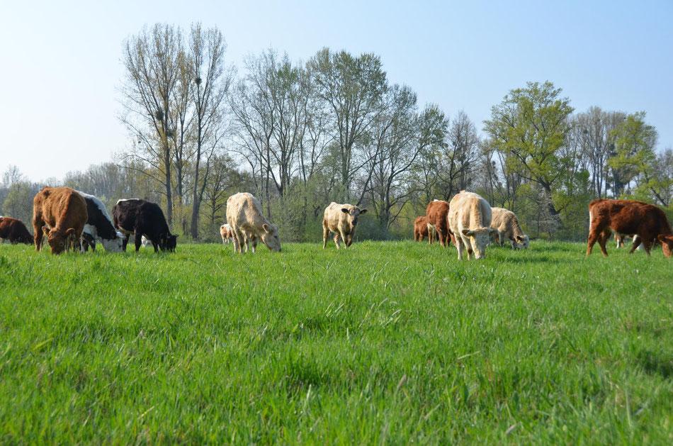 Unsere Rinder genießen einen herrlichen Tag auf ihrer Weide
